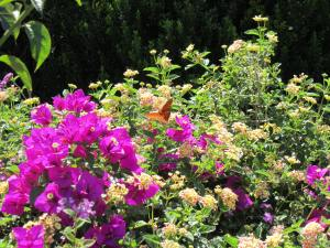 butterfly on bougainvillea