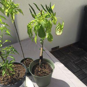 Chopstick as a plant stake